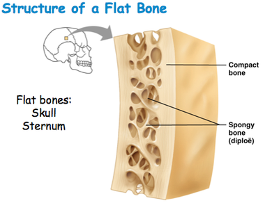Different Types Of Bones
